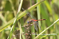 06652-00805 Blue-faced Meadowhawk (Sympetrum ambiguum) male in wetland Marion Co. IL