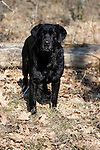 Black Labrador retriever (AKC) standing in the forest