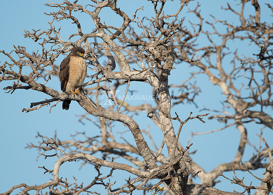 Handsome little Roadside hawks are often seen along the waterways of the Pantanal.
