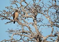 Handsome little Roadside hawks are often seen along the waterways of the Pantanal.