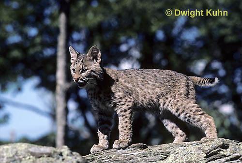 MA26-091z  Bobcat - young - Felis rufus
