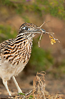 576010045 a wild greater roadrunner geocoyccx claifornianus at falcon dam state park rio grande valley texas united states