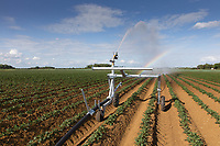 Irrigating potatoes in Lincolnshire<br /> ©Tim Scrivener Photographer 07850 303986<br />      ....Covering Agriculture In The UK....