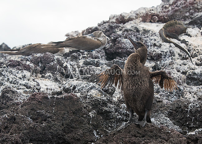 The flightless cormorant is one of many endemic species found in the Galapagos.