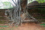 Close up of buttress roots of banyan tree, Polonnaruwa ancient city, North Central Province, Sri Lanka, Asia