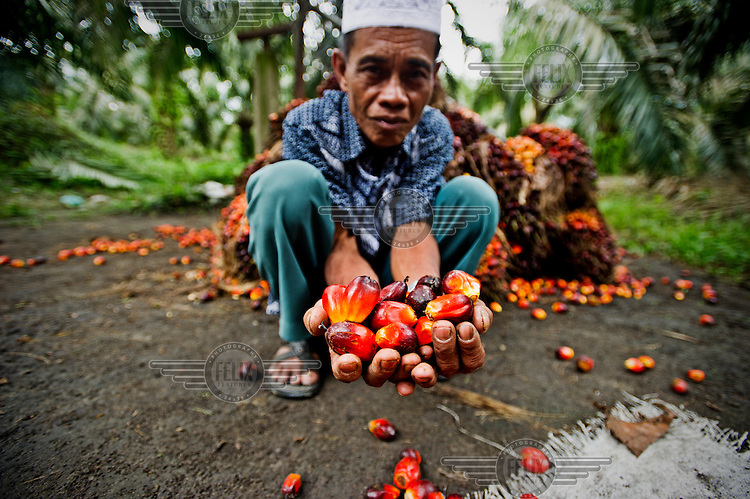 Pak Godi, a smallholder, who is affilaited with palm oil producer Musim Mas via their smallholder scheme, with a hand full of palm oil fruit.