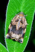 Eschenzwieselwickler, Eschen-Zwieselwickler, Eschenzwiesel-Wickler, Archips podana, Tortrix podana, large fruit-tree tortrix, tordeuse des fruits, tordeuse de l'osier, Wickler, Tortricidae, tortrix moths