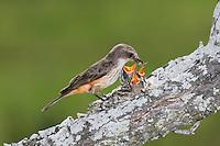 Vermillion Flycatcher (Pyrocephalus rubinus), female feeding young in nest, Laredo, Webb County, South Texas, USA