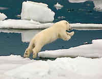 A spring cub leaps from one ice floe to another to stay up with his / her mother as the drift ice is constantly shifting.