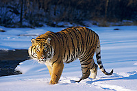 Siberian Tiger (Panther tigris altaica), Endangered species. Winter.