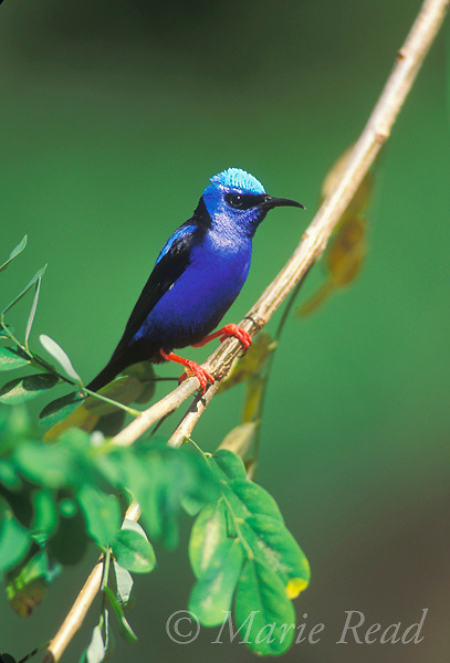 Red-legged Honeycreeper (Cyanerpes cyaneus) male, Gamboa, Panama. Slide # B165-50