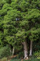 White bark Melaleuca styphelioides (Paperbark) trees in garden.