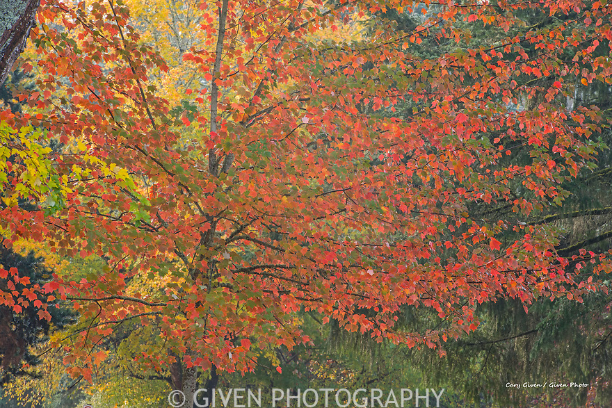 Sugar Maple in autumn color