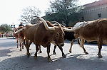 A cattle drive in the Stockyards section of Fort Worth, Texas.