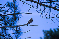 Nightjar in the branches of a conifer. Arne, Dorset, UK.