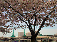 Flowering Japanese blossoms frame the Portland Convention Center, Oregon, USA