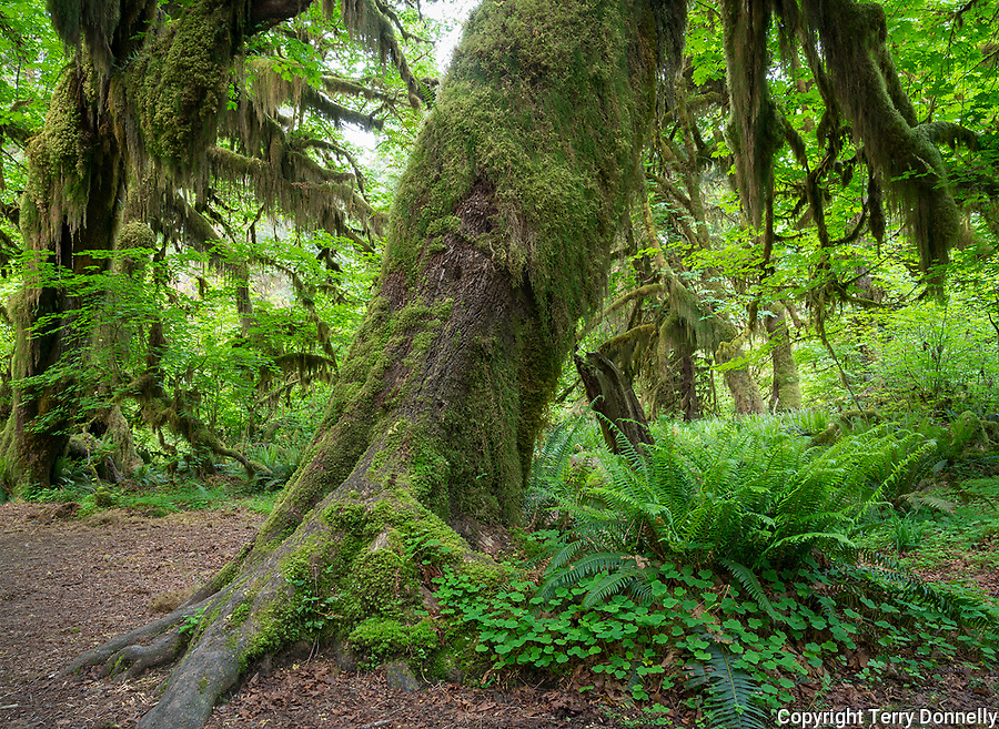 Olympic National Park, WA:  Hall of Mosses in the Hoh Rainforest, big leaf maple (Acer marcophyllum) trunks