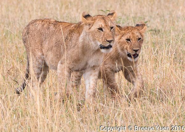 Two Lions Walking  Kenya 2015