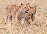 Two Lions Walking  Kenya 2015