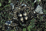 Killdeer nest Charadrius vociferus migratory plover bird with typical four eggs