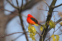 Male SCARLET TANAGER (Piranga olivacea)