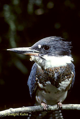 KG01-003z  Belted Kingfisher - male - Megaceryle alcyon