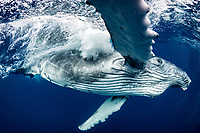 Fin Slapped: A playful humpback whale calf comes in for a closer look in the waters off of Tonga.