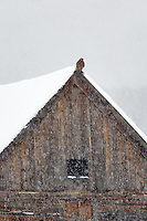 Hawk on barn in snowstorm. Ghost town of Whitney. Elkhorn Scenic Byway. Oregon