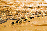Sanderlings (Calidris alba) flock silhouetted as they run along the shoreline, September, Nickerson Beach, Long Island, NY, USA.