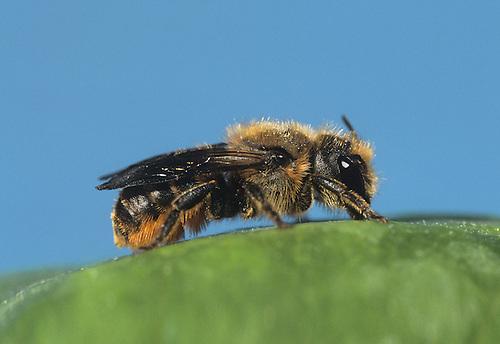 Leaf-cutter Bee - Megachile centuncularis
