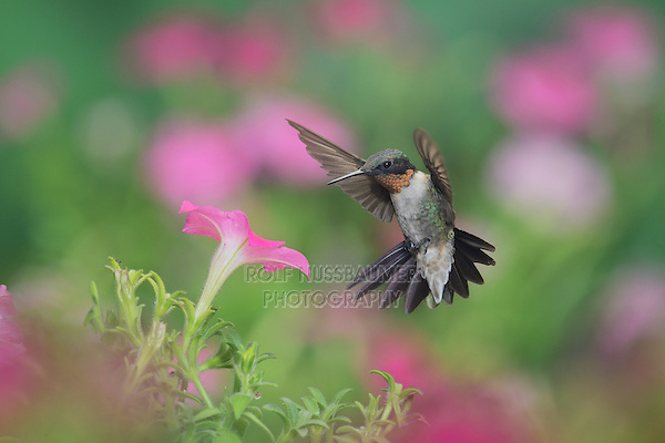 Ruby-throated Hummingbird (Archilochus colubris), male in flight feeding on Petunia  flowers, Hill Country, Texas, USA