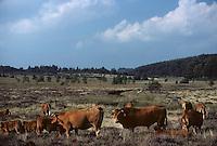 Europe/France/Limousin/Corrèze/Plateau de Millevaches : Vaches et taureau  race  limousine et landes de bruyères en fleurs