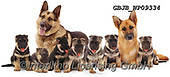 Kim, ANIMALS, REALISTISCHE TIERE, ANIMALES REALISTICOS, fondless, photos,+Alsatian family.,alsatian, family, dogs, pets, animals, alsatians, gsds, puppies, pups, families, cute, adorable, lovely, lov+able, white background+++,GBJBWP09334,#a#, EVERYDAY