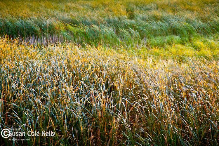 Wind-blown grass at Sandbar National Wildflife Area on Lake Champlain, Milton, VT, USA