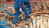 A handout photo from the Hong Kong-based 'AquaMeridian Conservation and Education Foundation' shows 6.2 tonnes of a worker walking on a pile of elephant tusks of confiscated ivory prior to crushing by Chinese customs officials under the supervision of China's State Forestry Administration, Huangpu Port, Dongguan, China, 06 January 2014. After the United States, Philippines, Gabon, Kenya and Zambia, China is the latest country to crush its confiscated ivory as a symbolic gesture, sending a message to consumers, traffickers and poachers in Africa and Asia that the ivory trade is wrong and will make Africa's last remaining elephant populations extinct within 15 years. Scientists estimate that 25,000 elephants were illegally killed in 2012.