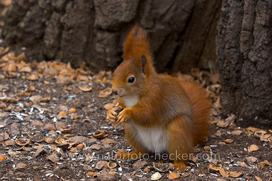 Eichhörnchen, Europäisches Eichhörnchen, frisst Nüsse, Sciurus vulgaris, European red squirrel, Eurasian red squirrel