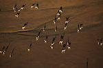 Namibia;  Namib Desert, Skeleton Coast,  herd of springbok (Andidorcas marsupialis) on plateau near Hoanib River, aerial view