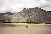 The two humped Bactrian camels walking on the sand dunes in Nubra Valley, Ladakh.