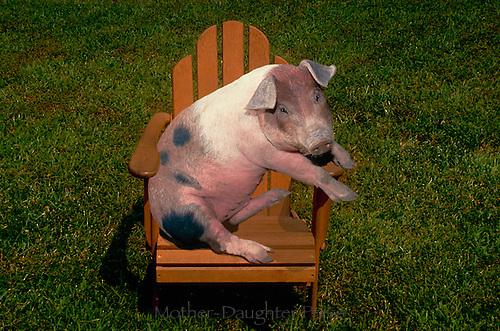 Pig in an adirondack chair on a lawn, Missouri USA