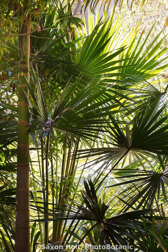 Palm tree, Australian fan palm (Livistona australis) upright leaves backlit in Worth Garden, California