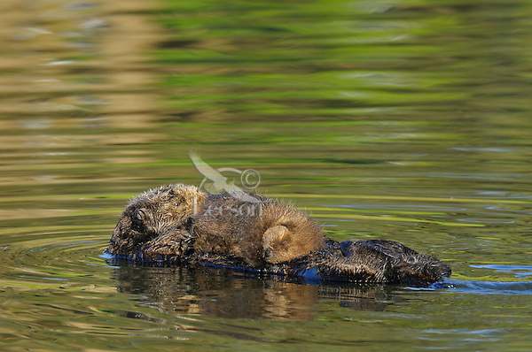 Sea Otter (Enhydra lutris) mom with sleeping pup.