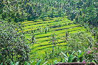 Picture of Palm Trees and Rice Paddy Fields on Bali, Indonesia. This photo shows what exotic Bali is famous for; tropical palm trees that sprawl across the island and rice paddy fields that line its steep slopes.