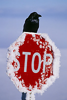 Common raven perched on top of a frost covered stop sign in Alaska's Arctic.