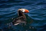Tufted Puffin (Fratercula cirrhata), seen near Seward, Kenai Fjords National Park, Alaska