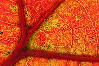 Blackjack Oak leaf closeup; Quercus marilandica; NJ, Pine Barrens