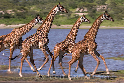 Four Maasai giraffe (Giraffa camelopardalis) running along the shores of Lake Ndutu in the Ngorongoro Conservation Area, Tanzania.