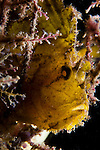 Backlit leaf scorpionfish, Taenianotus triacanthus, Raja Ampat, West Papua, Indonesia, Pacific Ocean