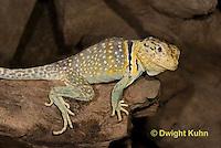 1R17-523z  Collared Lizard, Male, Crotaphytus collaris