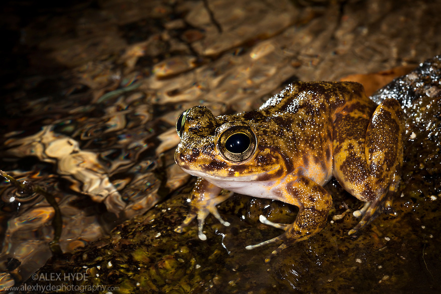 Grandidier's Madagascar Frog (Mantidactylus grandidieri) in rainforest stream at night. Masoala Peninsula National Park, north east Madagascar.