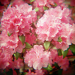 Cluster of pink Rhododendron blossoms